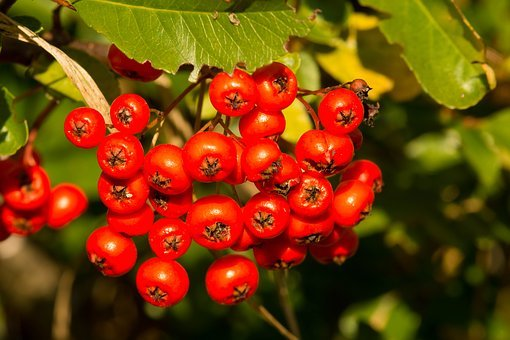 Rowanberries, Orange, Autumn, Fruits, Bush, Red, Plant