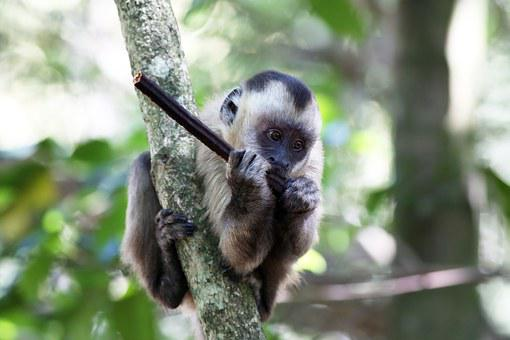 Capuchin Monkey, Feeding, Primate, Animal, Wild