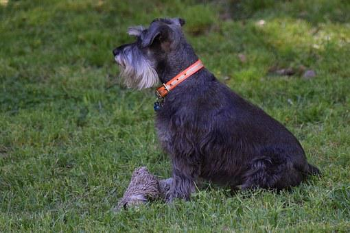 Dog, Canine, Schnauzer, Puppy, Pet, Animal, Cute, Happy