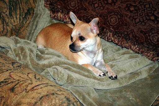 Cute, Chihuahua, Puppy, Dog, Pet, Animal, Mammal