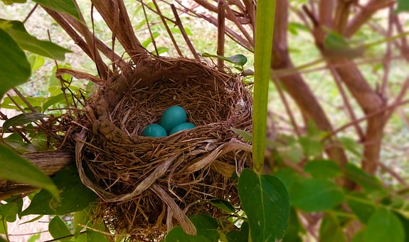 Nest, Robin, Eggs, Bird Nest, Robins Nest, Blue, Twigs