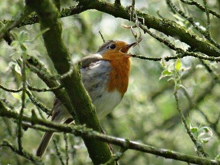 Robin, Singing, Nature, Bird, Red, Animal, Wildlife