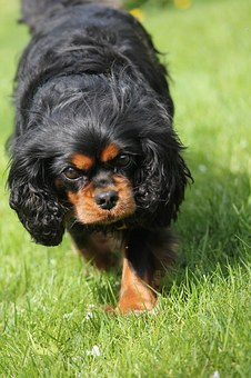 King Charles Cavalier Spaniel, Cute, Adorable, Spaniel