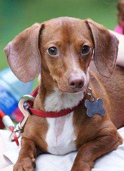 Dachshund, Puppy, Dog, Doggy, Animal, White, Wiener