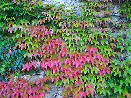 Wild Grapes, Autumn Colors, Climbing Plants