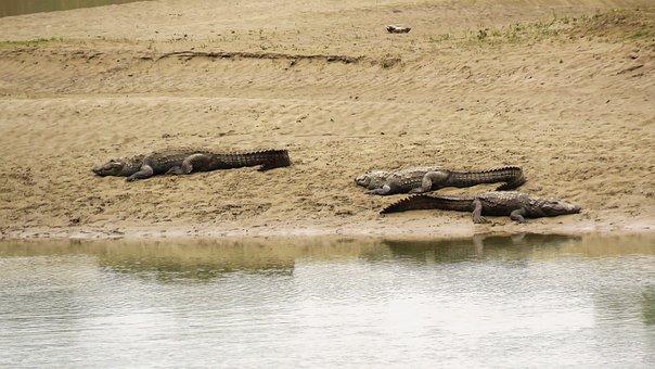 Crocodile, Animal, Alligator, Reptile, Predator, Water