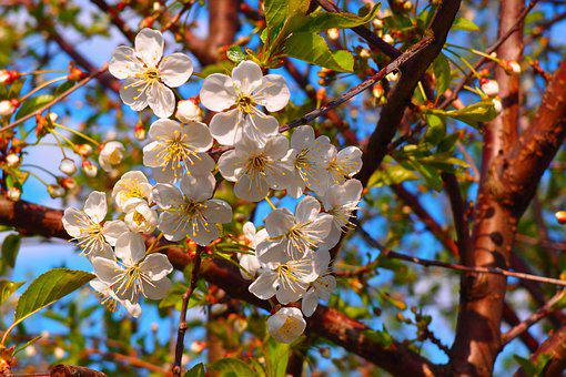 Apple Tree, Flowers, Petals, Spring