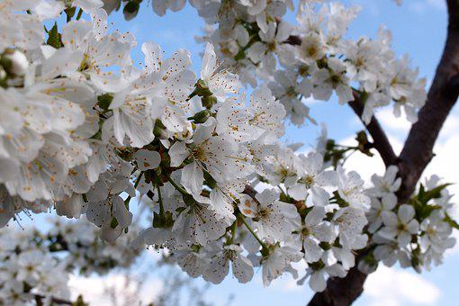 Apple Tree, Flowers, Petals, Spring, Bloom, White, Tree