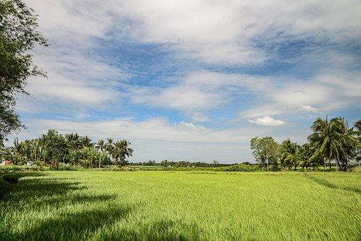 Rice Field, Ben Tre, Viet Nam
