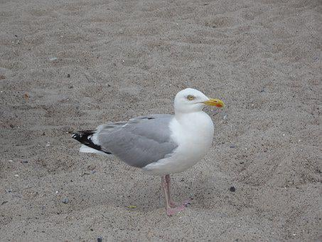 Gull, Animal, Bird, Seagull, Freedom