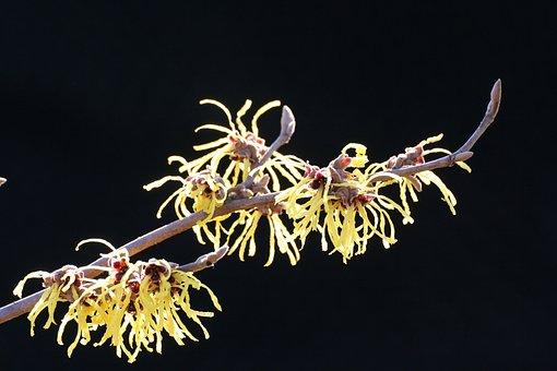 Witch Hazel, Blossom, Bloom, Witch Hazel Plant, Red