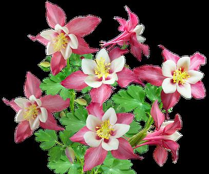 Flowers, Pink, Columbine, Bunch, Plant, Decoration