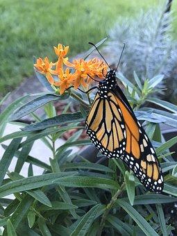 Butterfly, Monarch, Milkweed, Orange, Flower, Nature