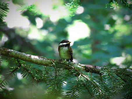 Chestnut-Backed Chickadee, Chickadee