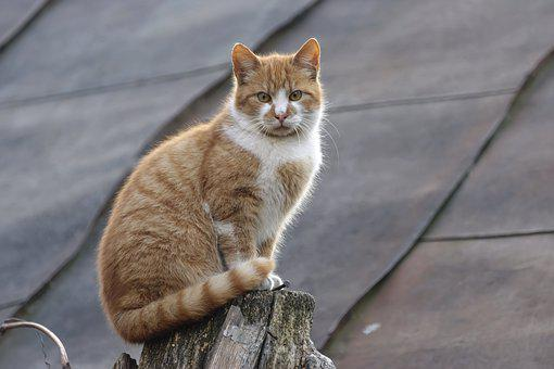 Cat, Pet, Domestic, Feline, Fur, Stripes, Shades, Brown