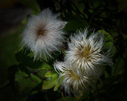 Clematis Seed Head, Seeds, Fluffy, Nature, Plant, Flora