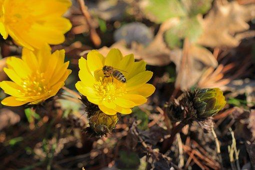 Pheasant's Eye, Flower, Adonis, Yellow, Nature, Spring