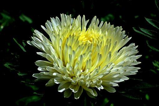 Aster, Flower, White, Plant, Garden, Macro, Summer