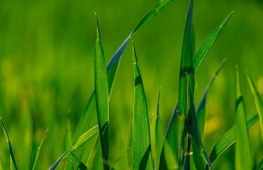 Grass, Green, Meadow, Field, Nature, Plant, Growth