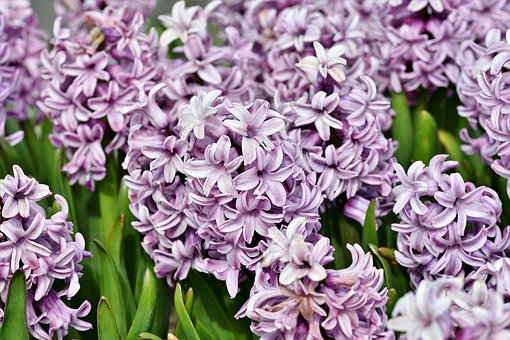 Hyacinth, Flowers, Spring Flower