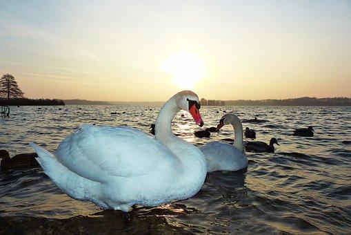 Mute Swan, Para, Sunrise, In The Morning, Lake