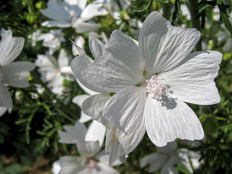 Flower, Mallow Musk, White, In The Summer Of, Flora