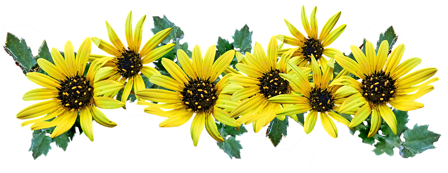 Flowers, Yellow, Daisies, Cape Weed, Cut Out, Isolated