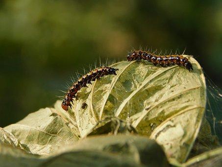 Lemon Pansy Caterpillar, Caterpillar