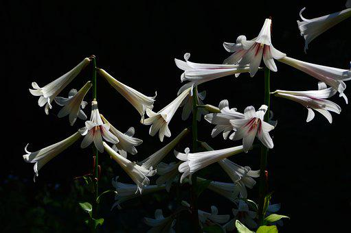 Lily, Lilies, Bloom, Flora, Plant, Garden, Flowers