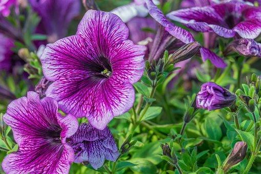 Petunia, Petals, Purple, Plant, Nachtschattengewächs
