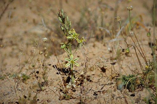 Albuca Consanguinea, In Habitat, Namaqualand, Fragrant