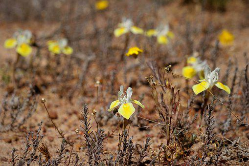 Moraea Serpentina, Toxic Species, Namaqualand