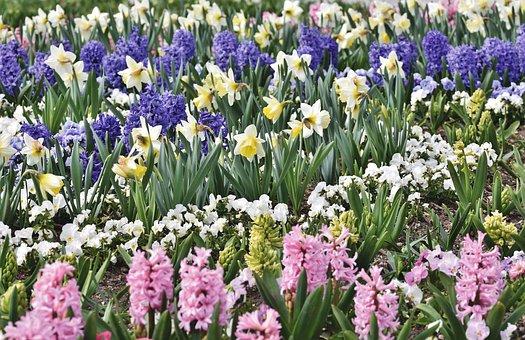 Narcissus, Flower Bed, Blossom, Bloom, White