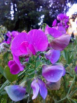 Peas, Fragrant, Garden, Nature, Flower