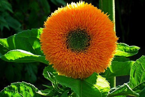 Sunflower, Flower, Yellow, Summer, Plant, Nature, Macro