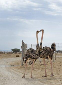 Ostriches, Hai-bar Nature Reserve, Israel, Arava, Negev