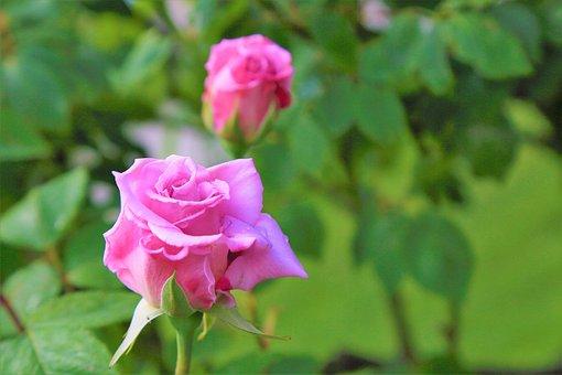 Rose, Pink, Beautiful, Spring, Flower, Love, Nature