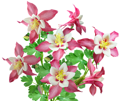 Flowers, Pink, Columbine, Bunch, Plant, Cut Out