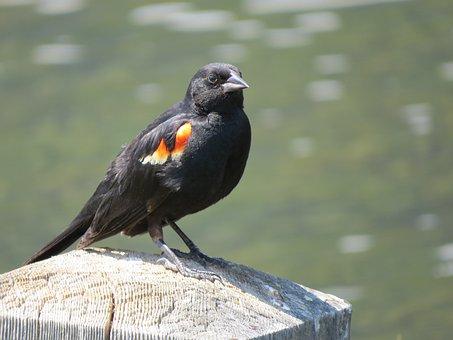 Rotschulterstärling, Red-winged Starling