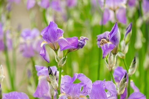Iris, Iris Flower, Schwertliliengewaechs