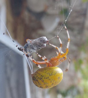 Spider, Web, Nature, Cobweb, Insect