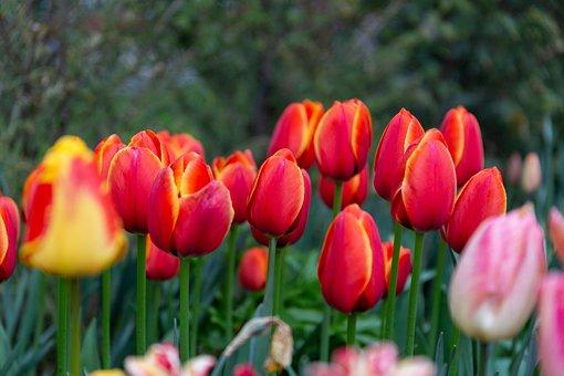 Tulip, Tulips, Flowers, Garden, Flora, Summer, Plant