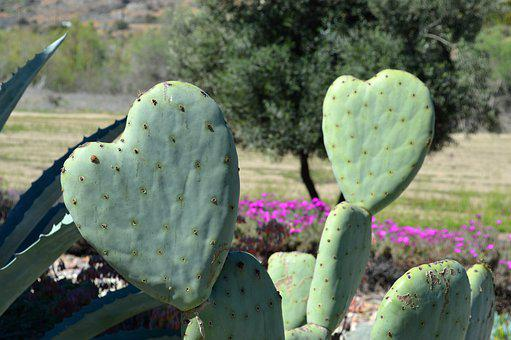 Cactus, Heart-shaped, Nature, Succulent, Texture