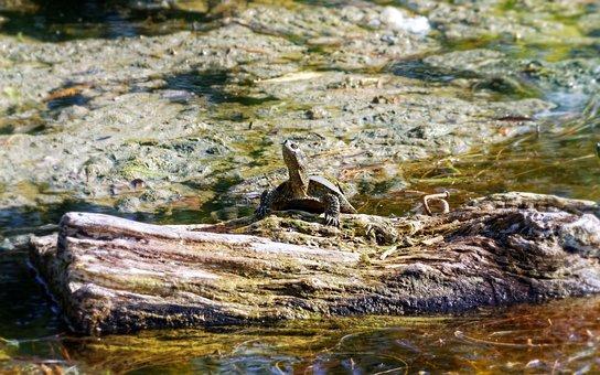 Turtle, Log, Trunk, Tree, Water, Lake, The Mud, Bucket