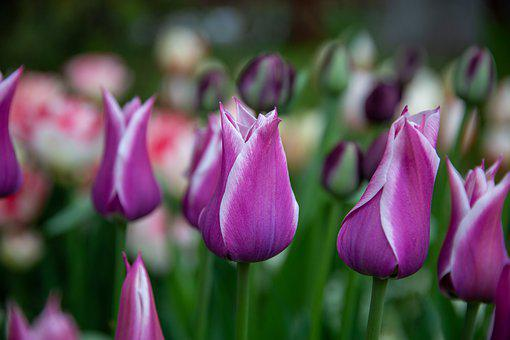Tulip, Tulips, Flowers, Garden, Flora, Summer, Color