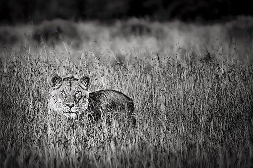 Animal, Lion, Wild, Wild Life, Africa, Kenya, Nikon
