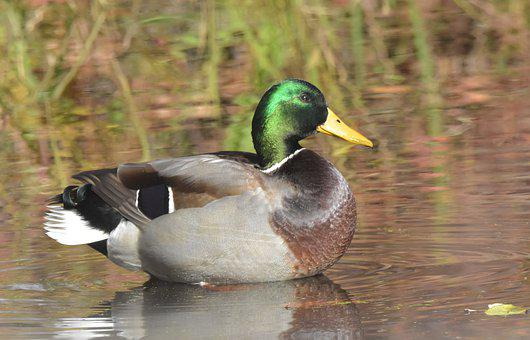 Waterfowl, Duck, Water, Bird, Wildlife, Pond, Mallard