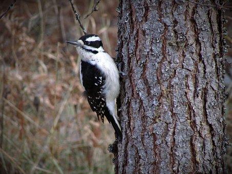 Hairy Woodpecker, Woodpecker, Hairy, Wildlife, Nature