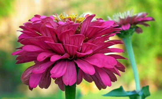 Zinnia, Flowers, Colorful, Garden, Closeup, Summer
