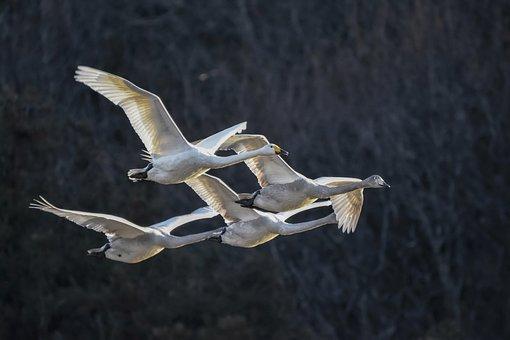 Animal, Forest, Wood, Bird, Wild Birds, Swan